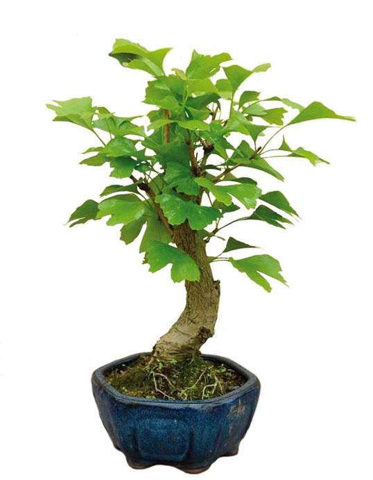 Посадить гинкго билоба