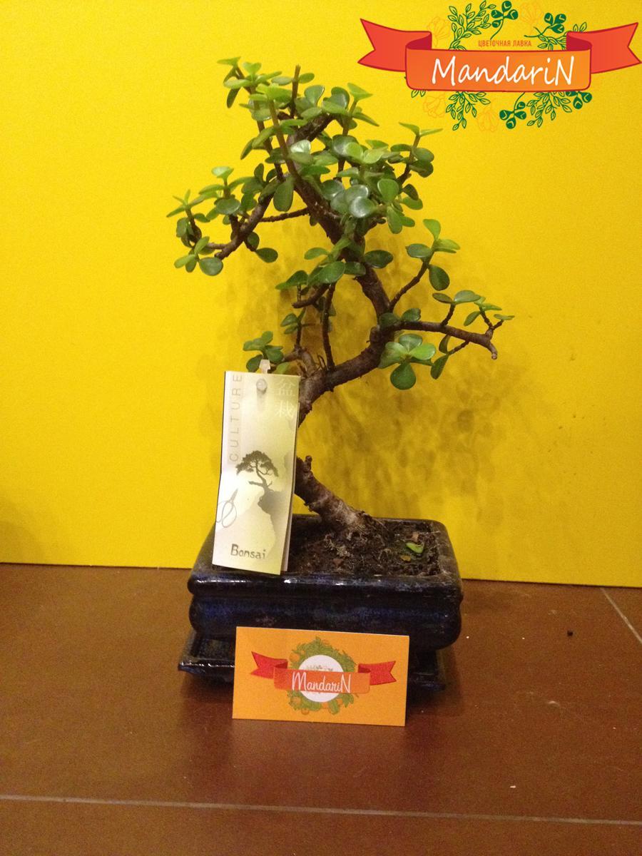Крассула красула или Толстянка Денежное дерево  Crassula