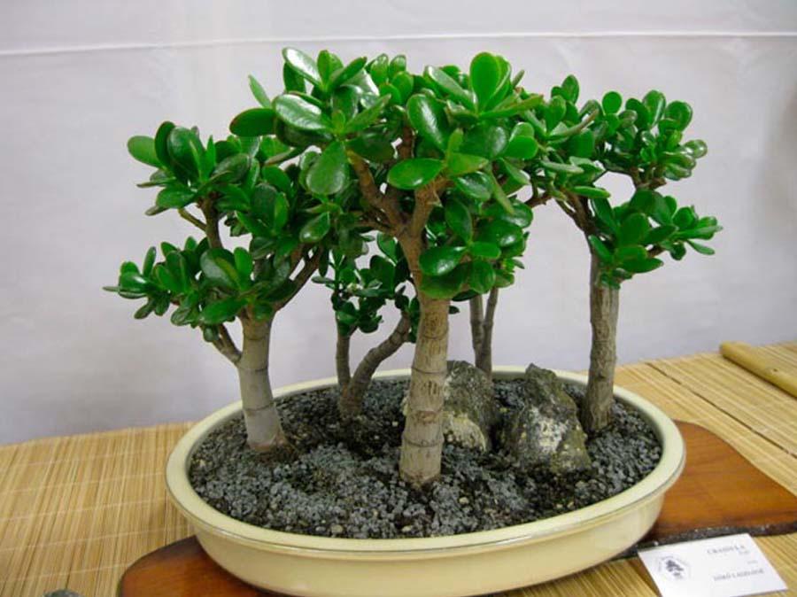 Денежное дерево: как посадить для привлечения средств