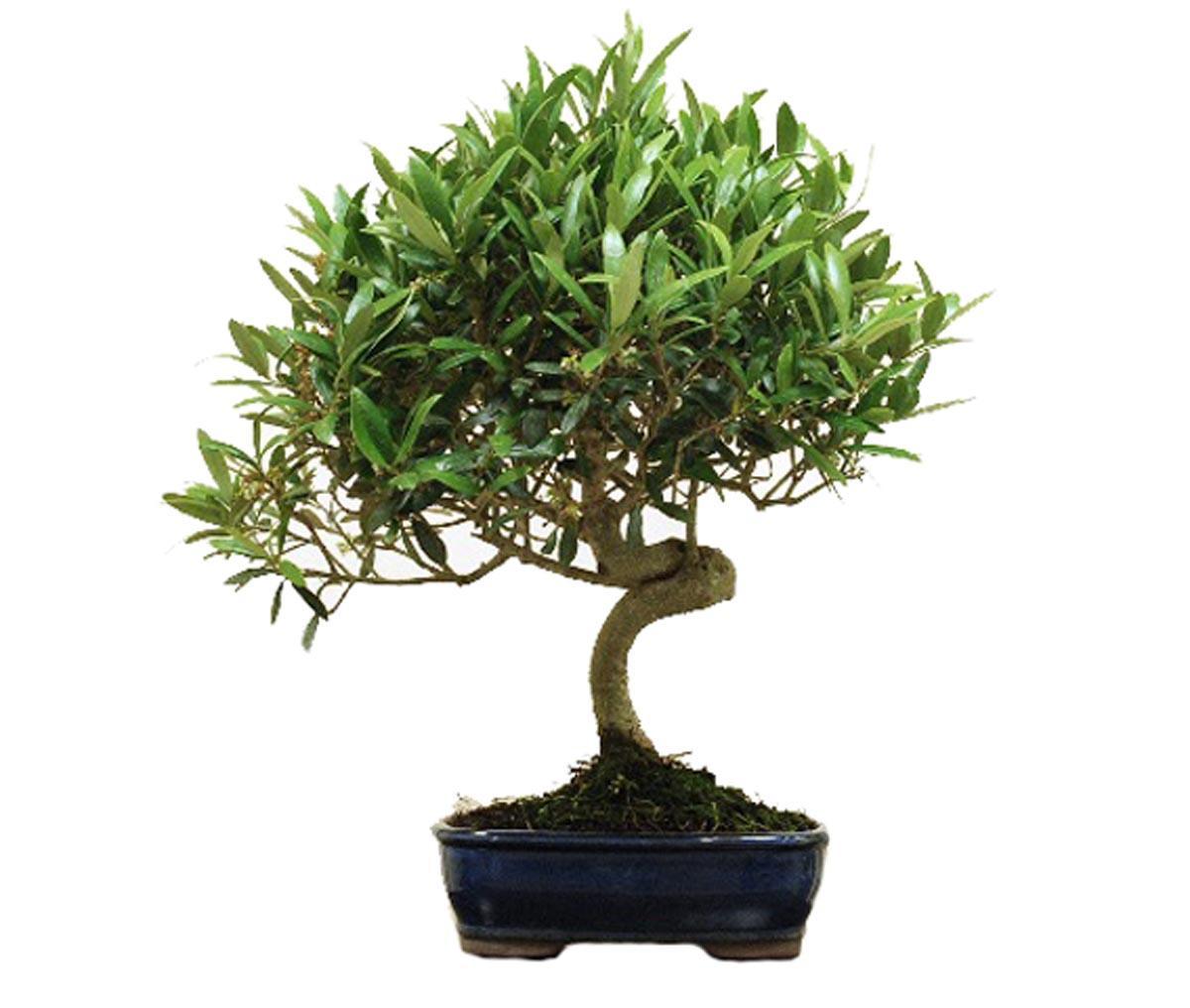 дерево олива уход в домашних условиях фото