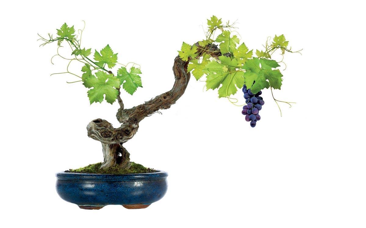 Виноградные косточки в домашних условиях
