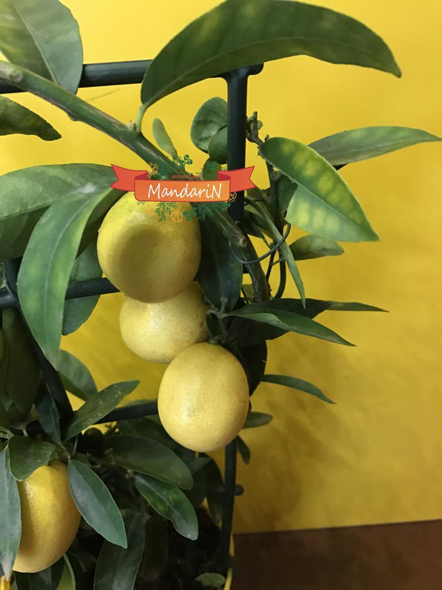 Апельсиновое дерево: уход в 46
