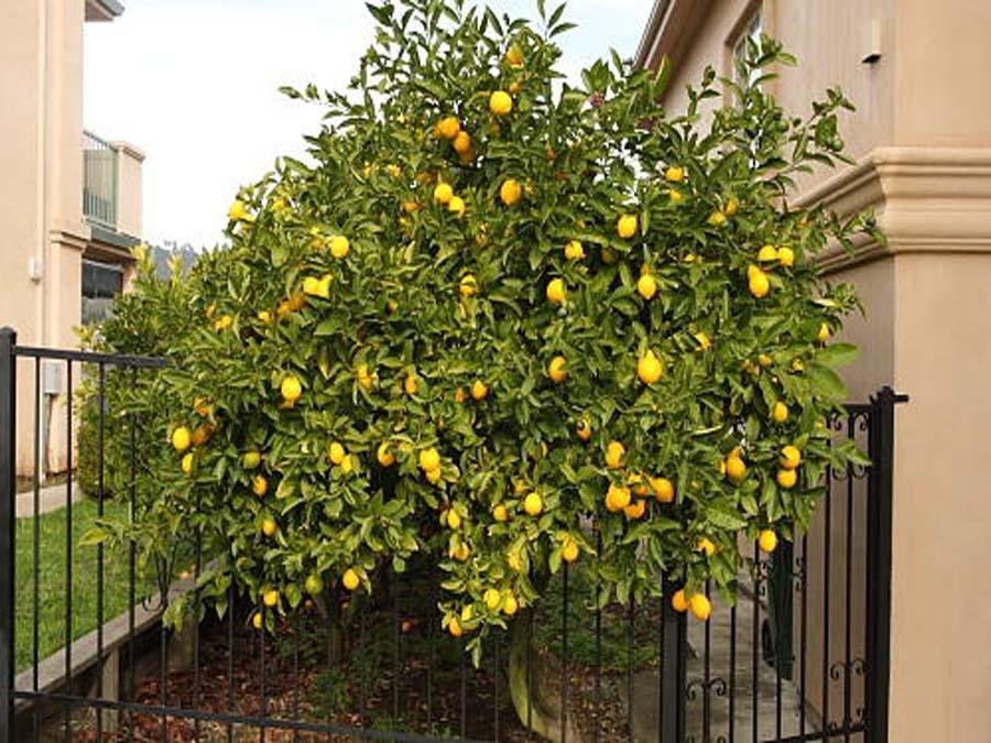 Лимонное дерево в домашних условиях 137