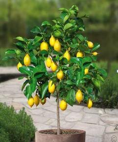 Размножение лимона черенками 35