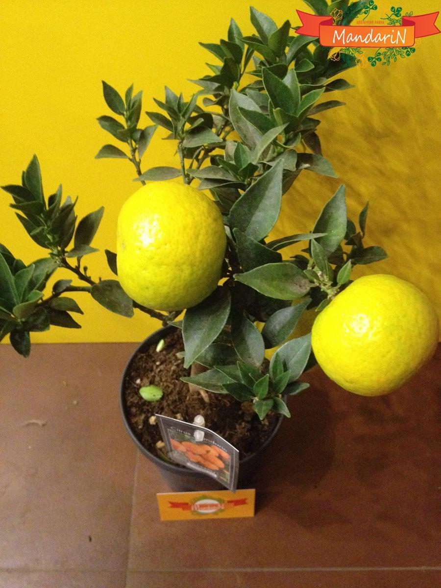 Апельсиновое дерево: уход в 64