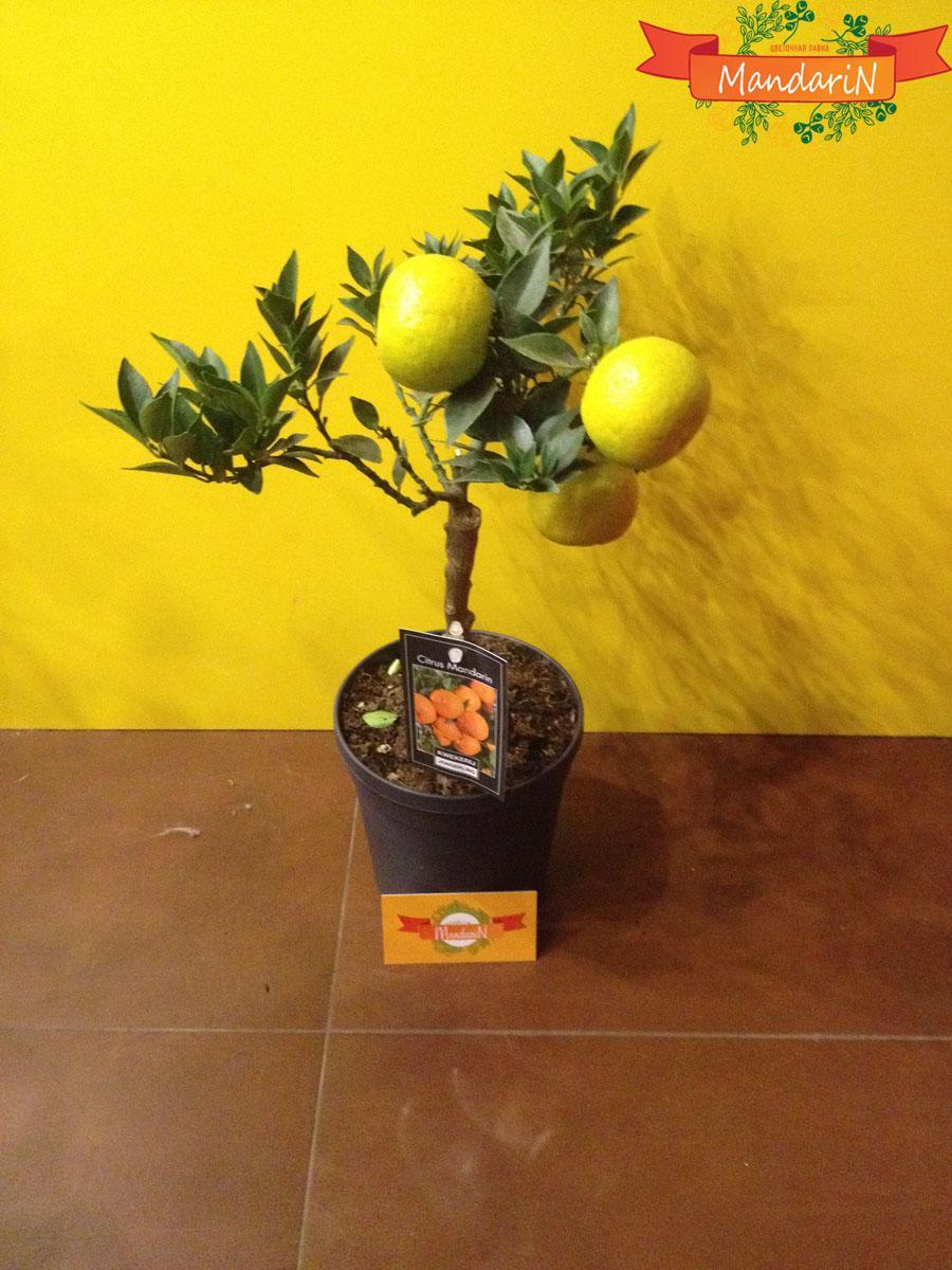 Как вырастить апельсин из косточки 5