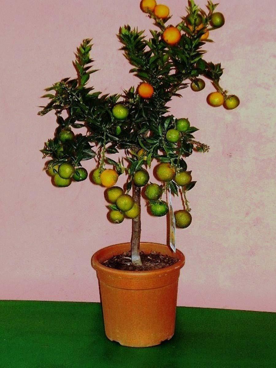 for Citrus myrtifolia