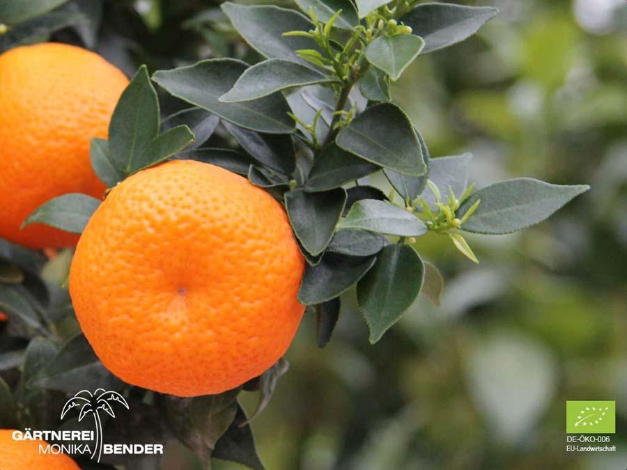 Дерево апельсин выращивание в домашних условиях 75