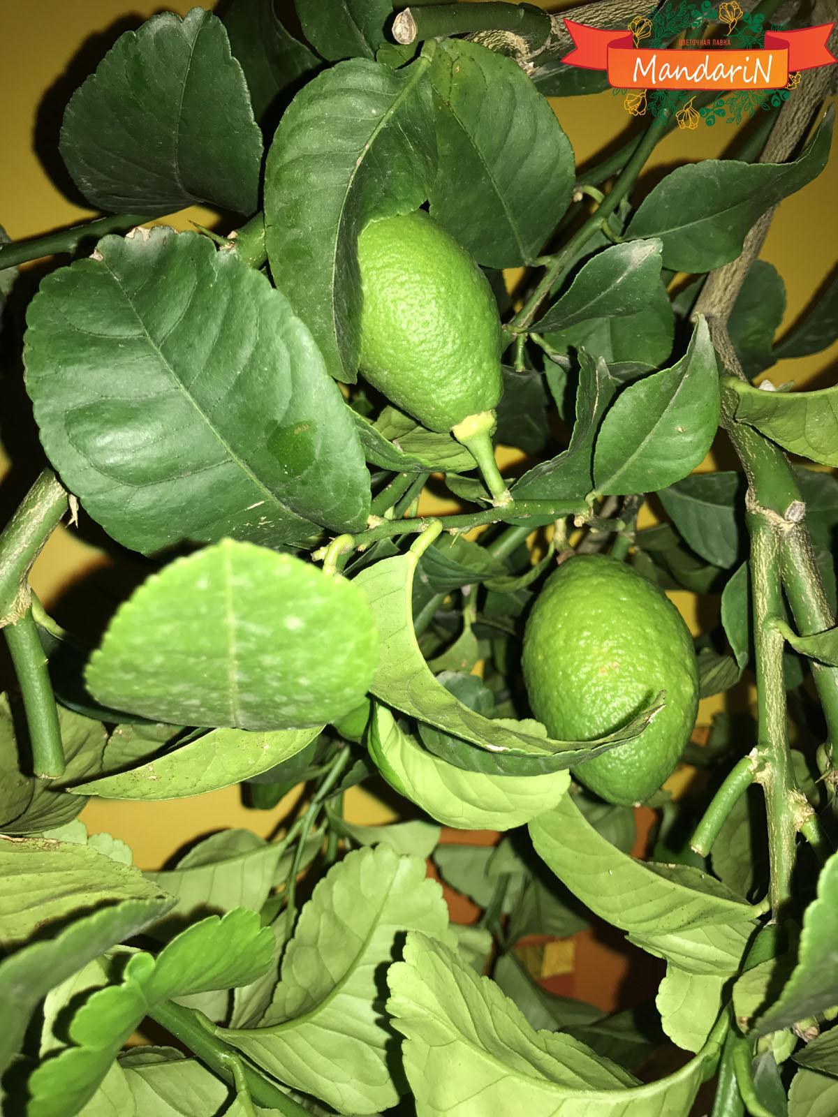 Кто выращивает бергамот в домашних условиях
