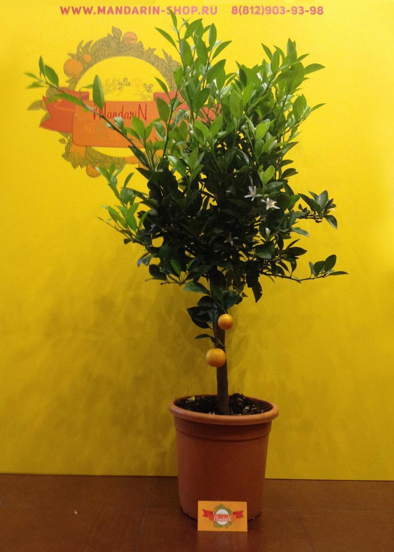 Как ухаживать за мандариновым деревом в горшке в домашних условиях фото