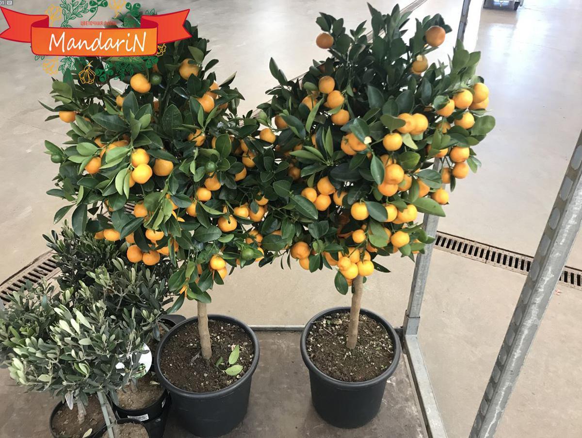 Апельсиновое дерево: уход в 23