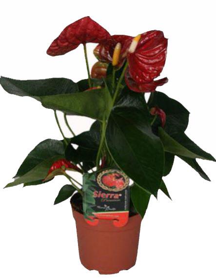Мужское счастье цветок антуриум цена