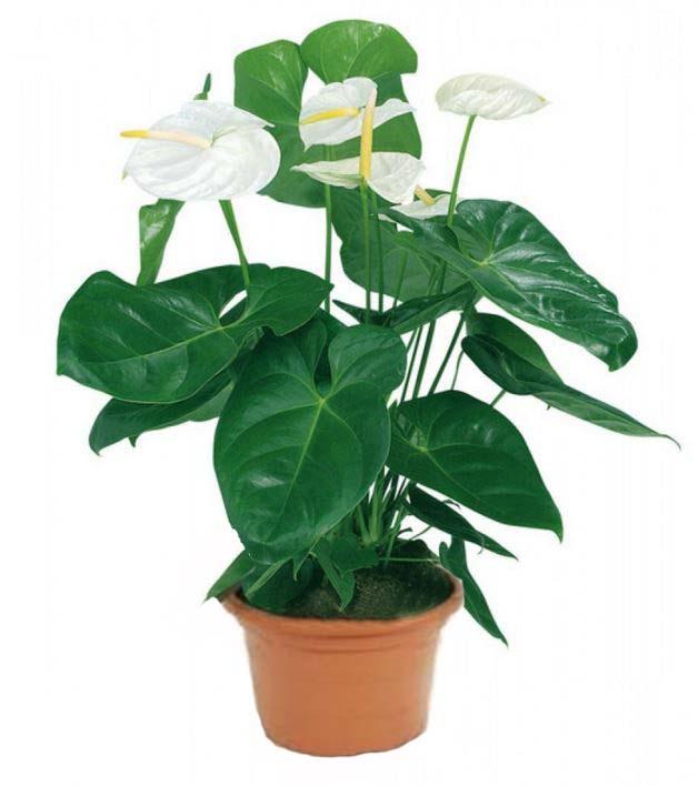 Цветок в горшке с белыми цветами