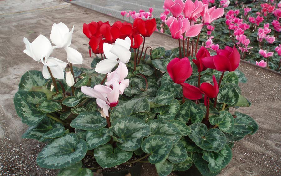 Какие есть цветы цикламен