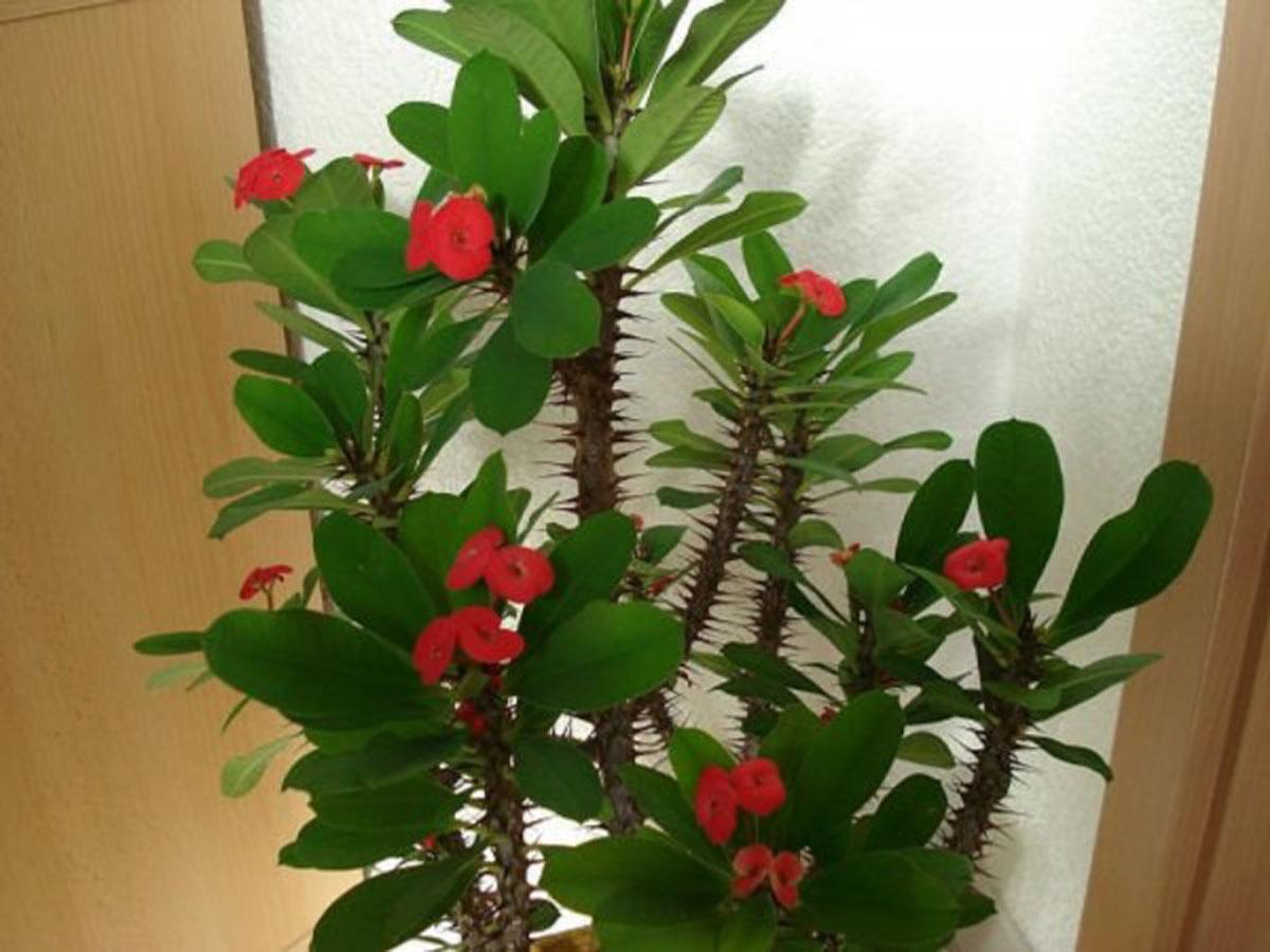 Цветок молочай фото и описание