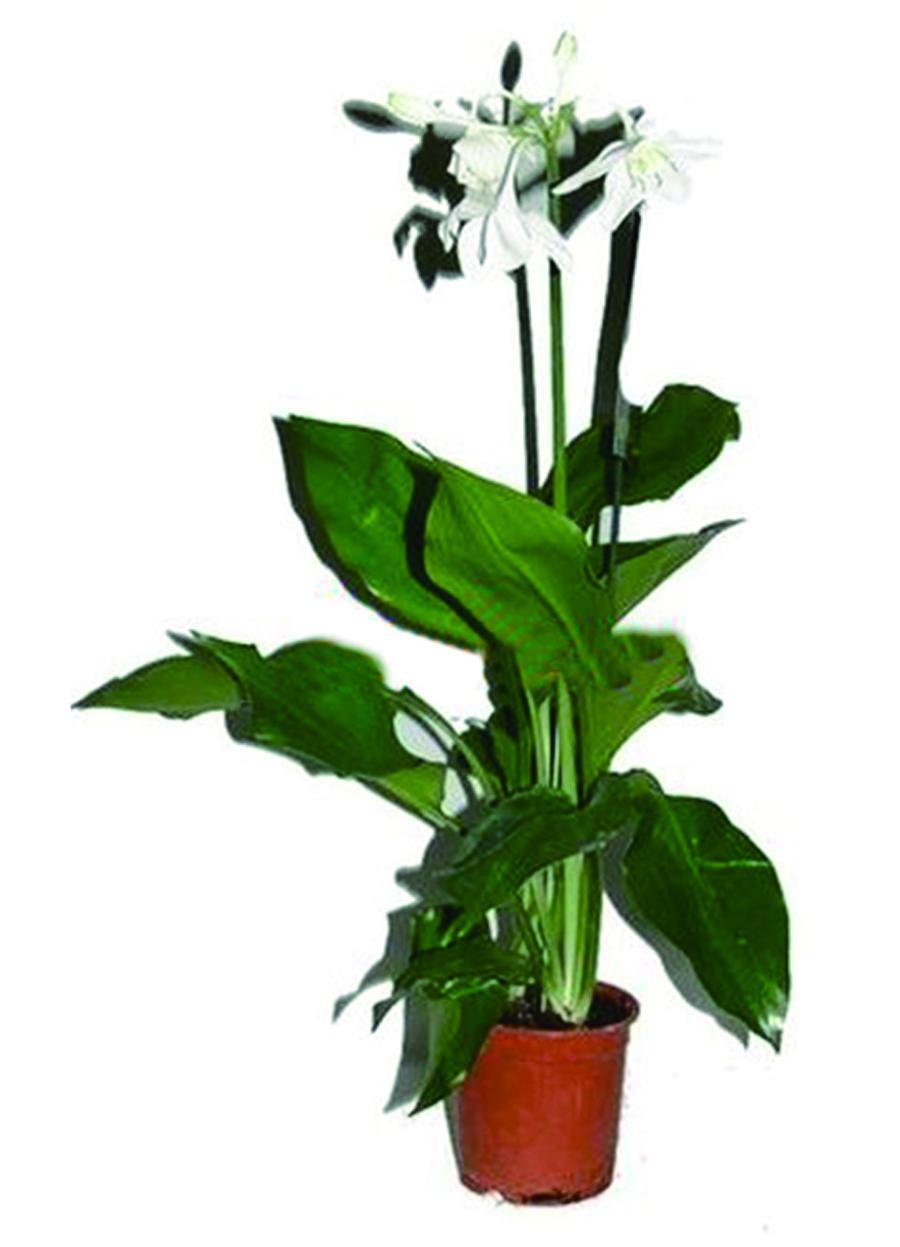 Комнатный цветок эухарис: фото, описание и уход в домашних 85