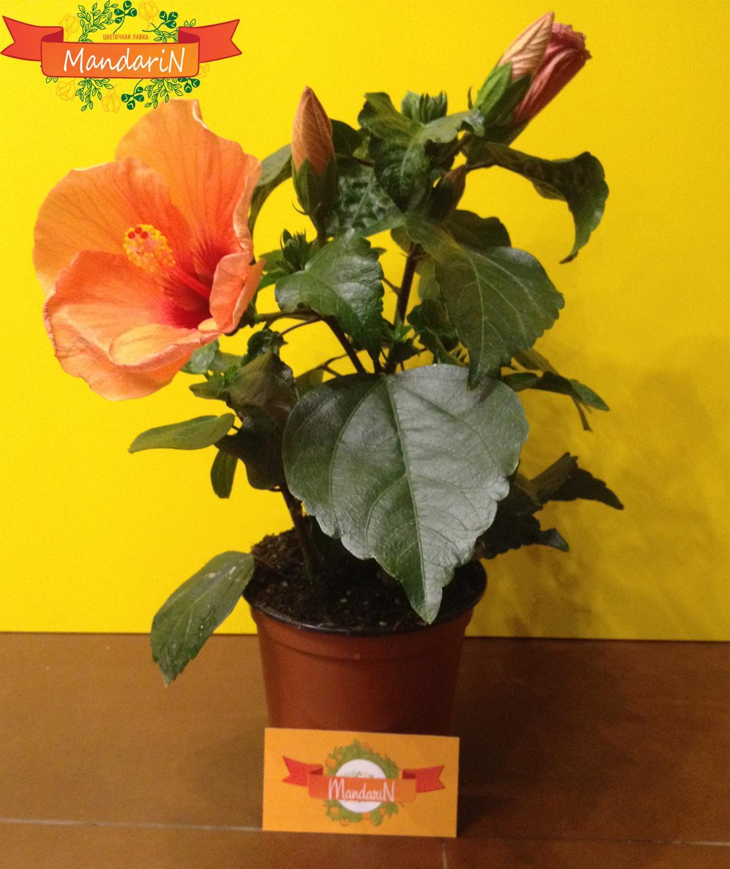 Как ухаживать за комнатным цветком гибискус