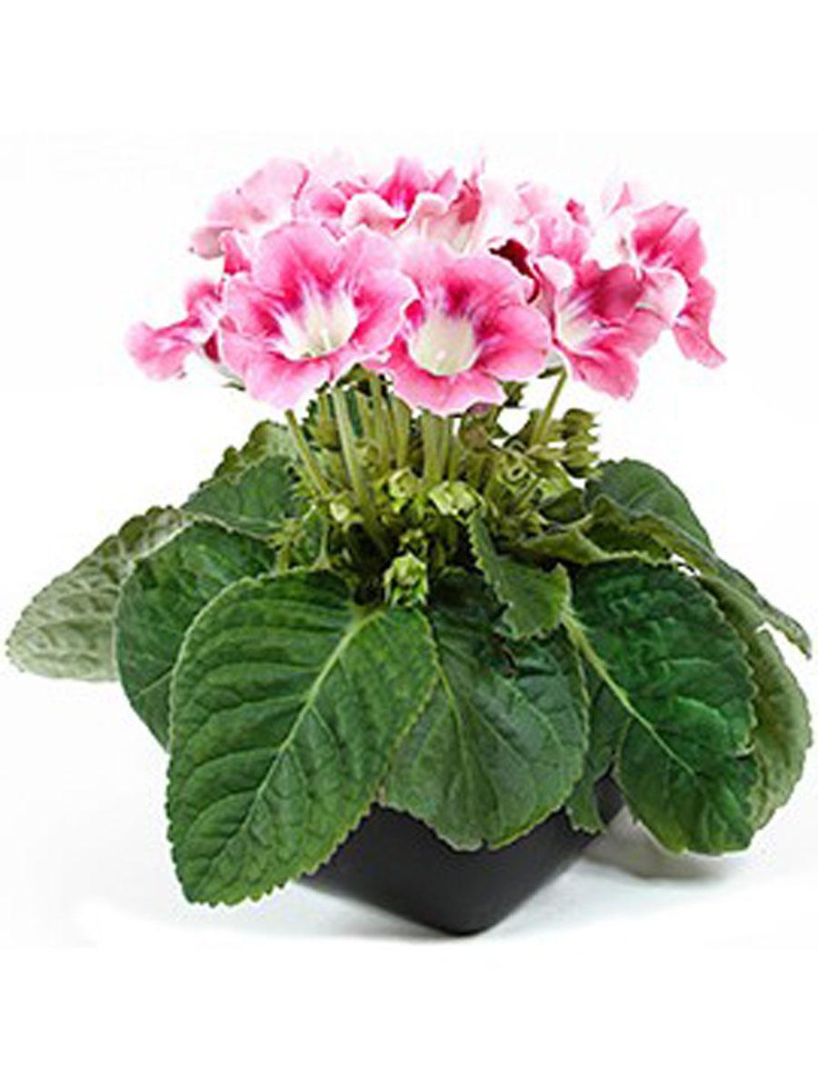 Цветок глоксиния в домашних условиях 171