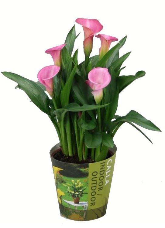 Купить каллы в горшках цветы спб упаковка цветы купить