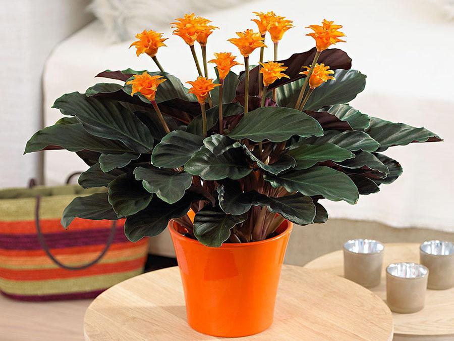 Домашние цветы уход в домашних условиях калатея 537