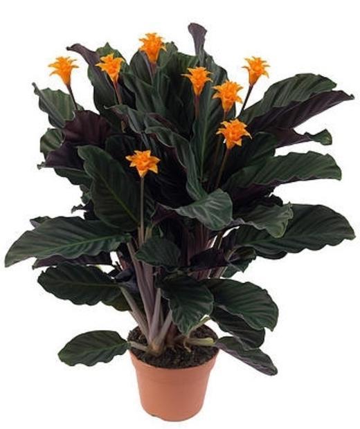 Цветы калатея уход в домашних условиях