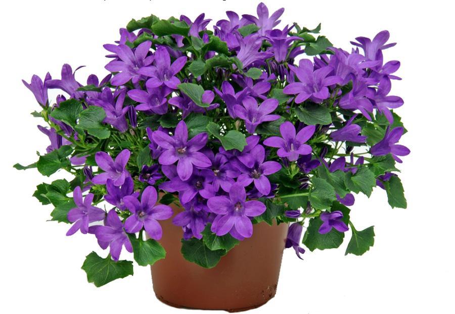 Комнатный цветок его выращивание 385