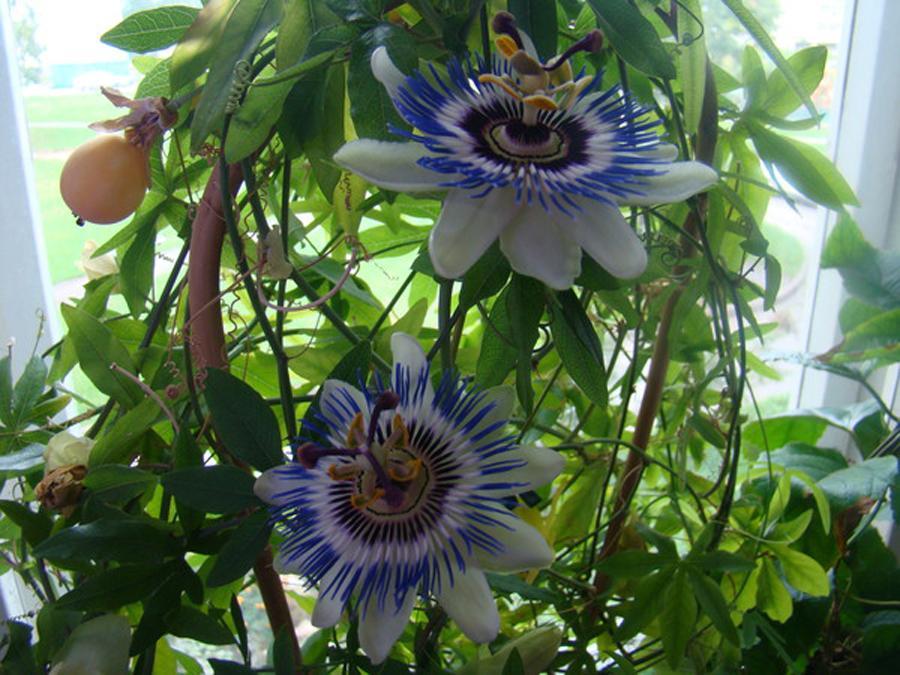 Почему не цветет пассифлора в домашних условиях 68