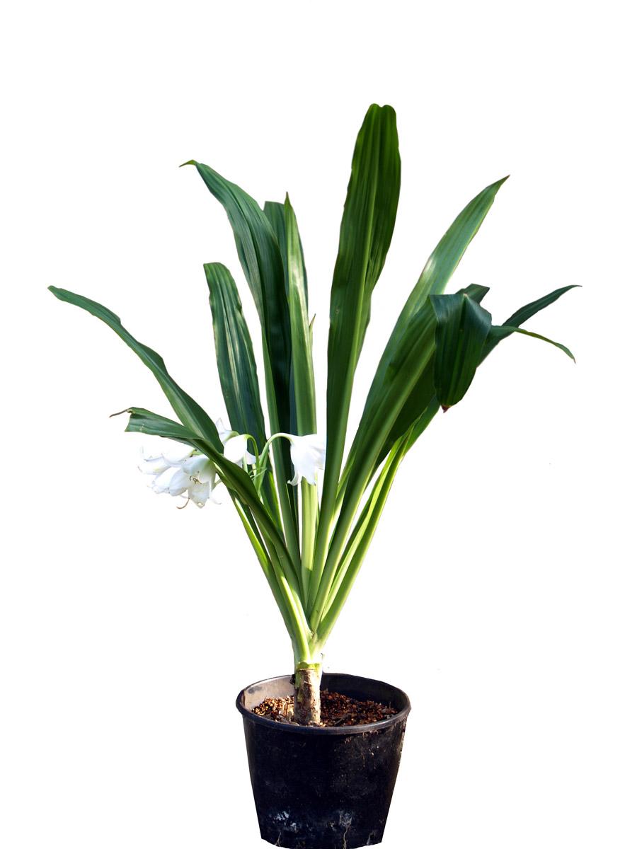 Кринум цветок описание фото