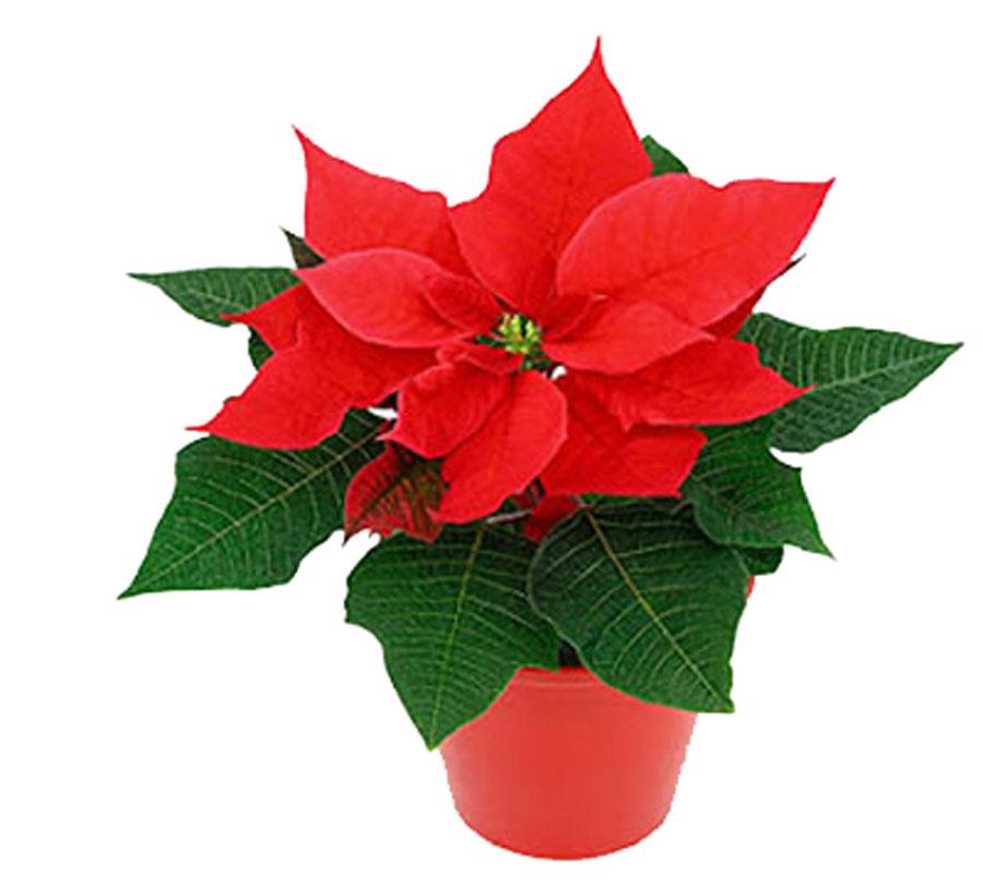 Пуансеттия рождественская звезда уход в домашних условиях 208