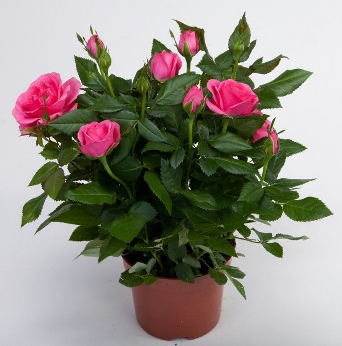 Цветок роза уход комнатная