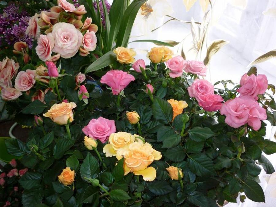 виды комнатных роз фото и названия