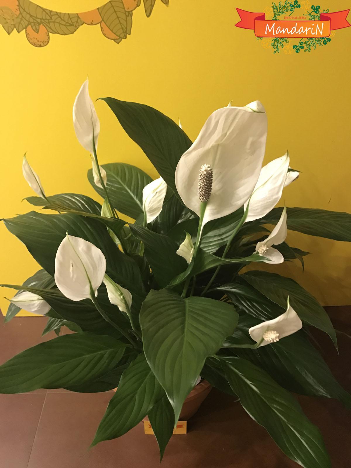 Какие цветы женское и мужское счастье притягивают? Цветок