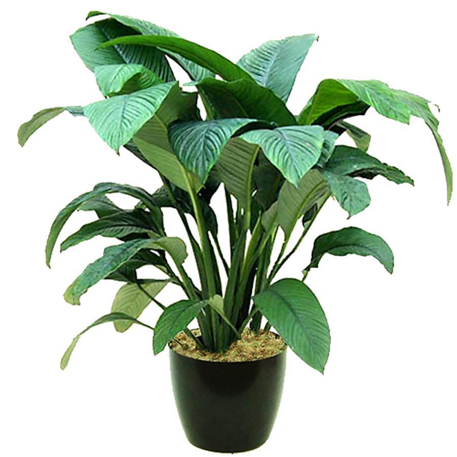 Спатифилиум белый - Spathiphyllum Chopin D35 H130 купить цветущие комнатные растения в Санкт-Петербурге - Мандарин-шоп