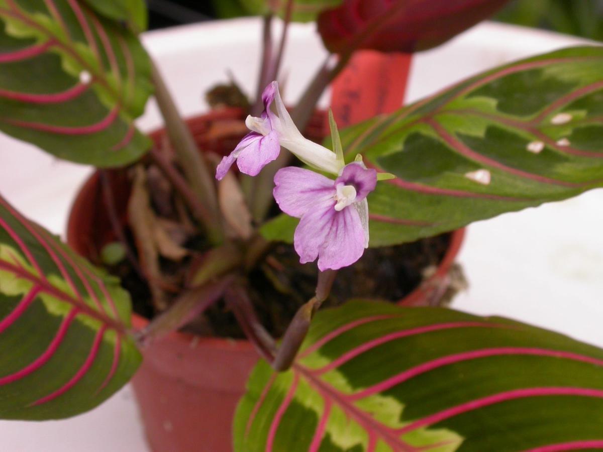 Растения - лекари на подоконнике