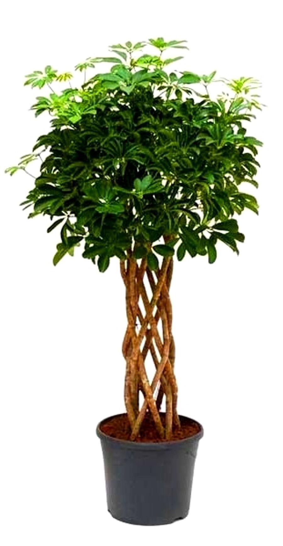 У шефлеры опадают листья: причины. Шефлера сбрасывает листья, что делать? 4