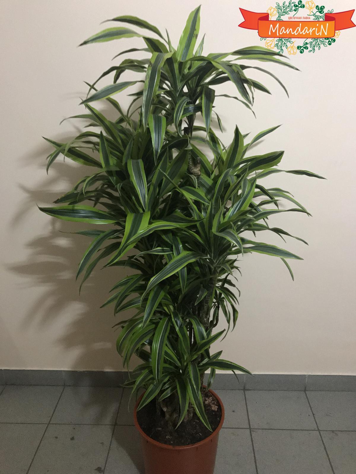 Комнатные цветы пальмы драцены фото и названия