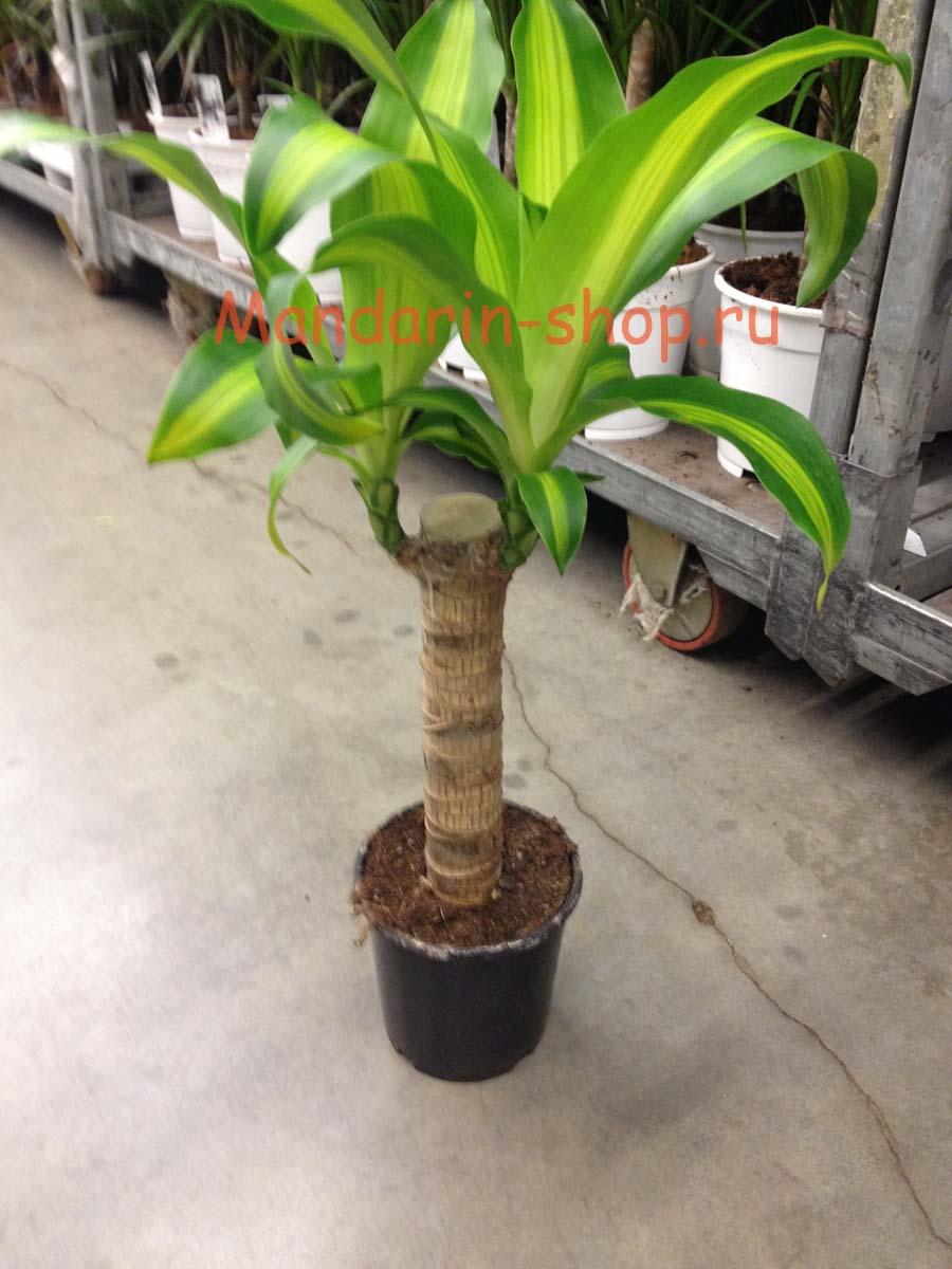 Домашние пальмы драцена уход в домашних условиях