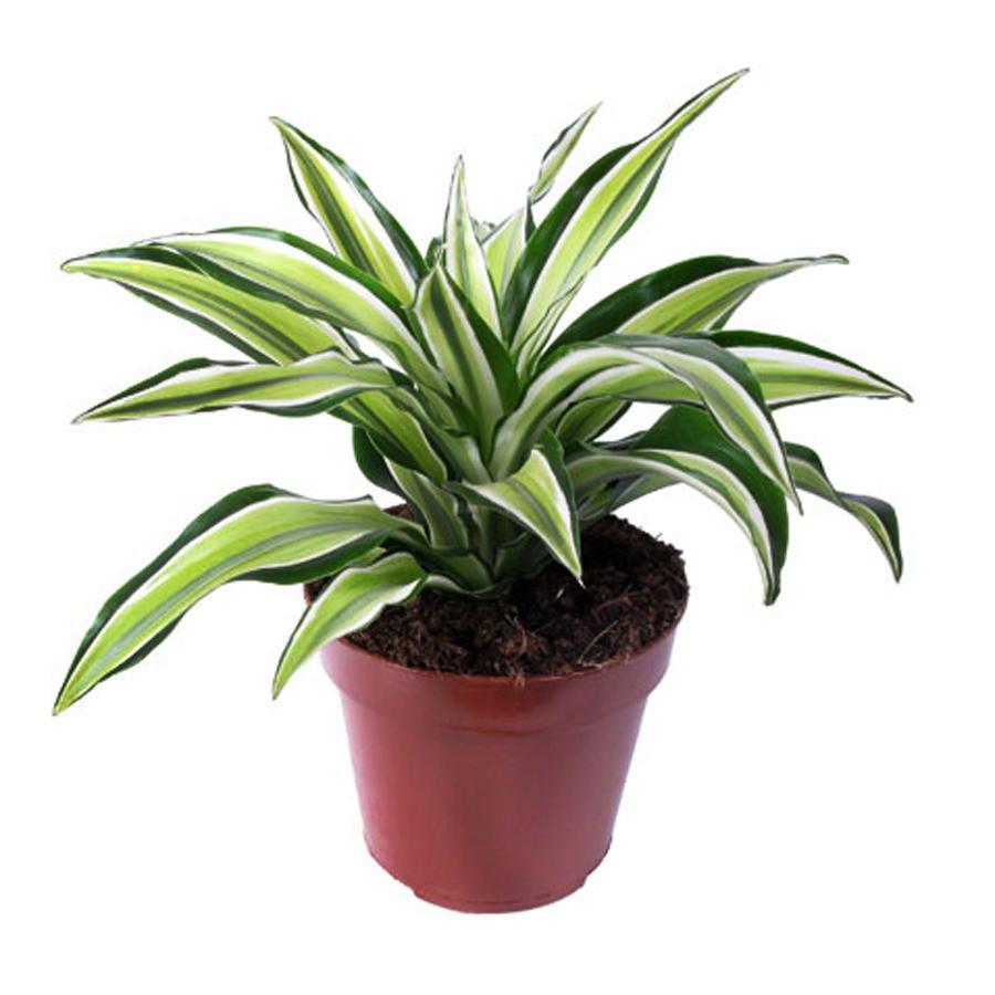 Растения для бонсай