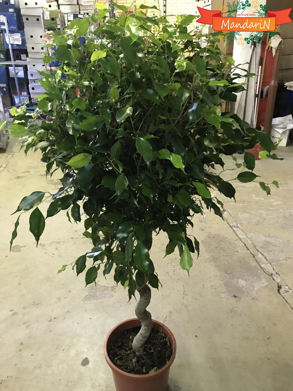 Фикус бенджамина растений в домашних условиях