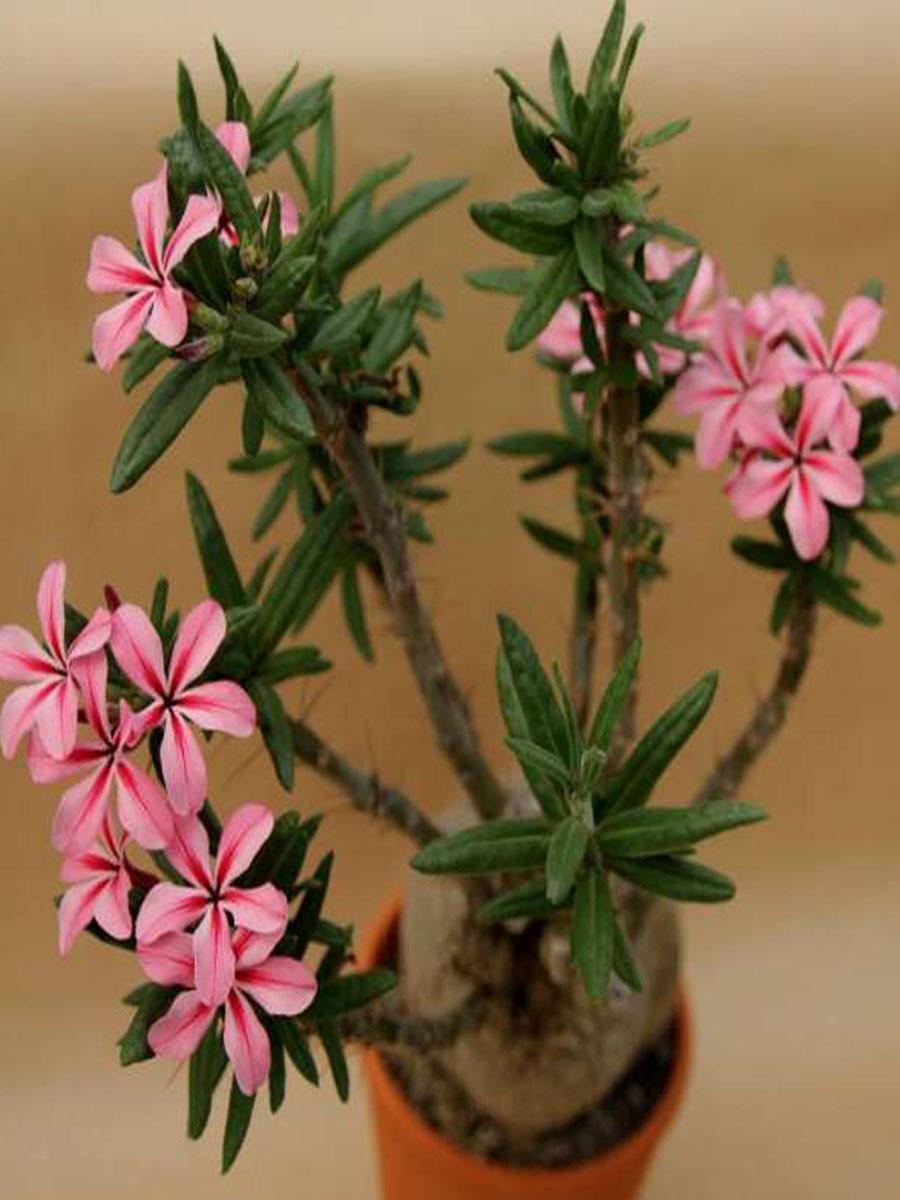 ПахиподиумУход в домашних условияхКомнатные цветы и