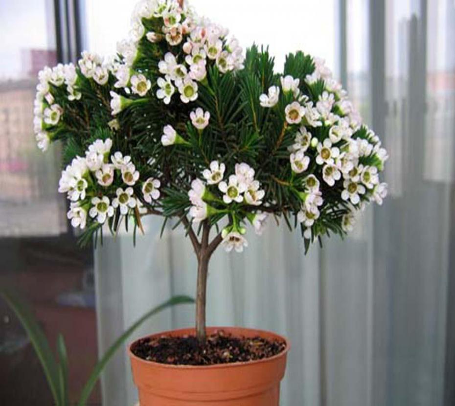 Мирт цветок уход в домашних условиях