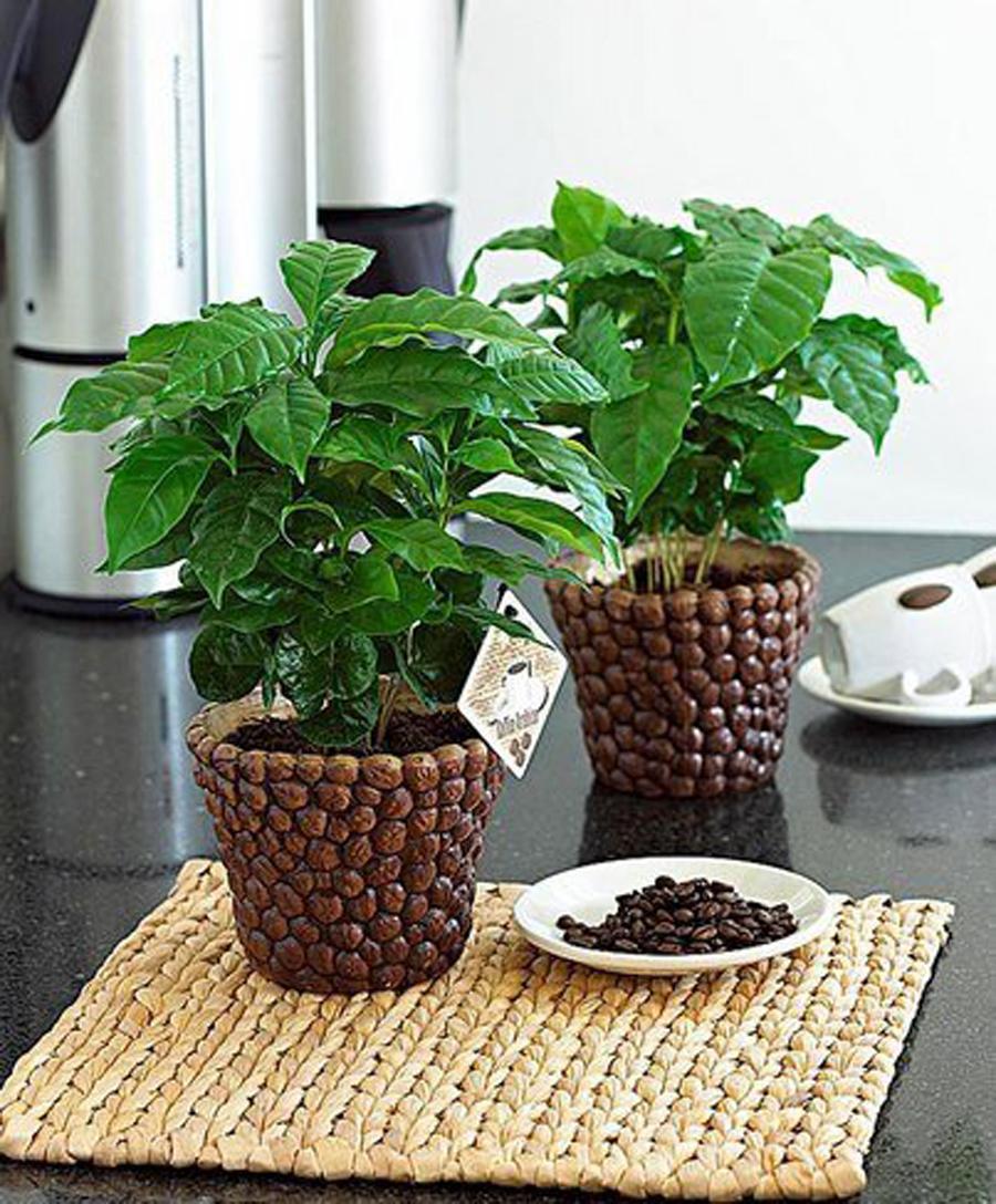 Дерево кофе арабика в домашних условиях 504
