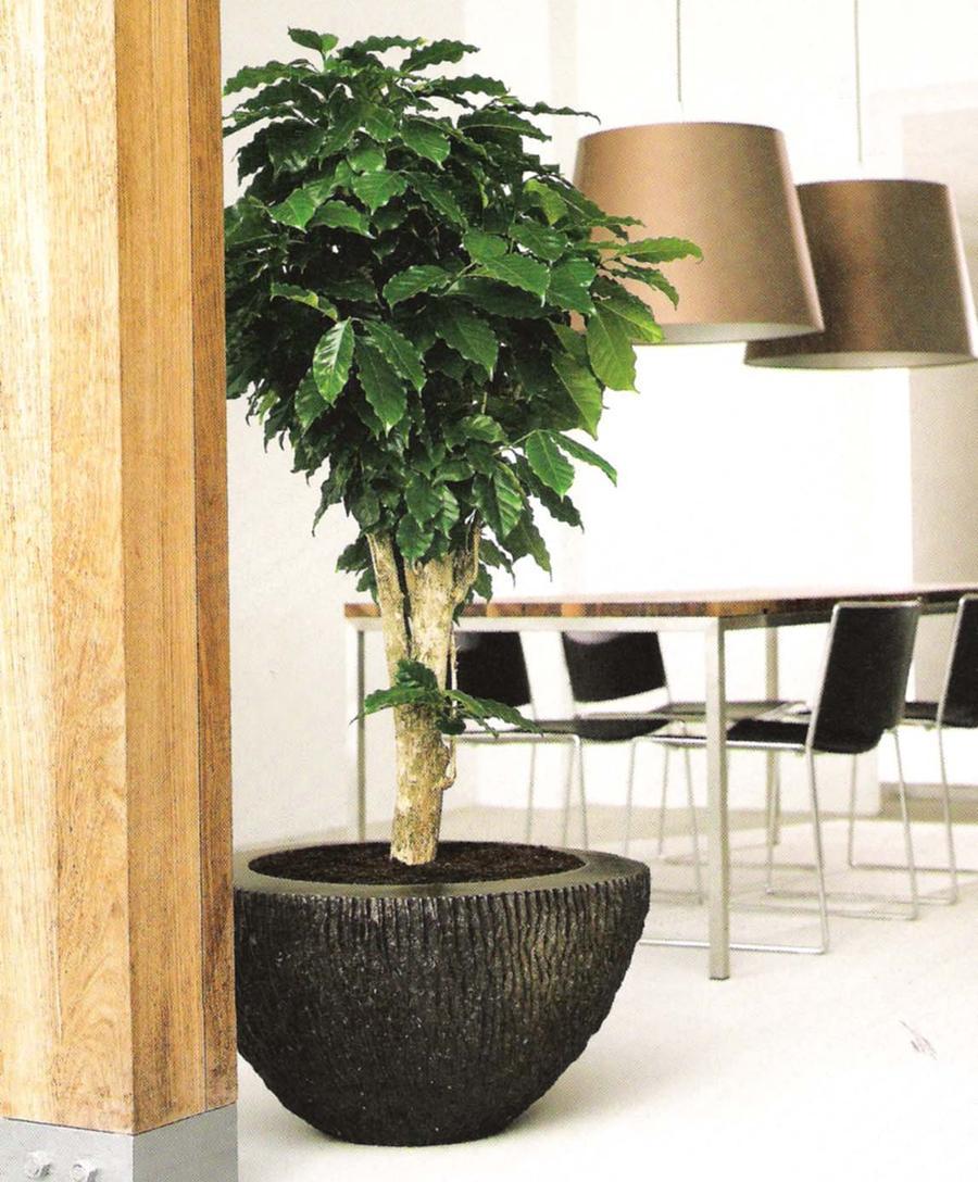 Дерево кофе арабика в домашних условиях 594