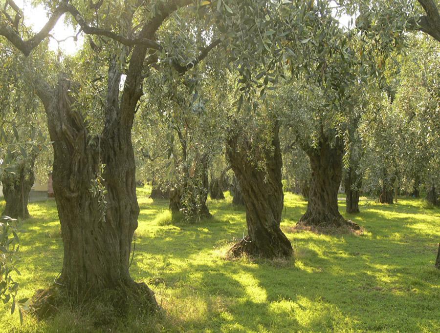 Оливковое дерево - комнатное дерево купить в интенет-магазине Мандарин IC73