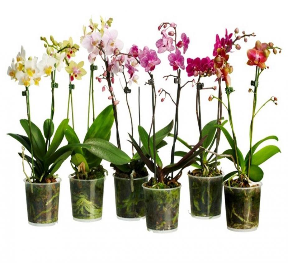 Орхидеи в домашних условиях купить
