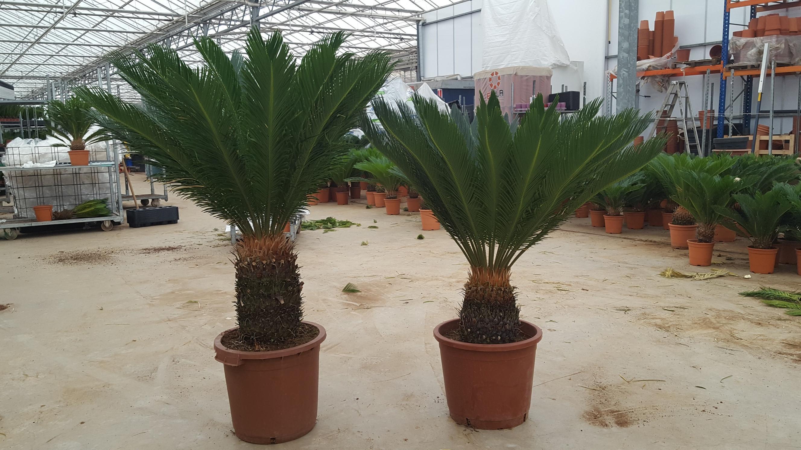 Хамедорея. Уход за пальмой в 14