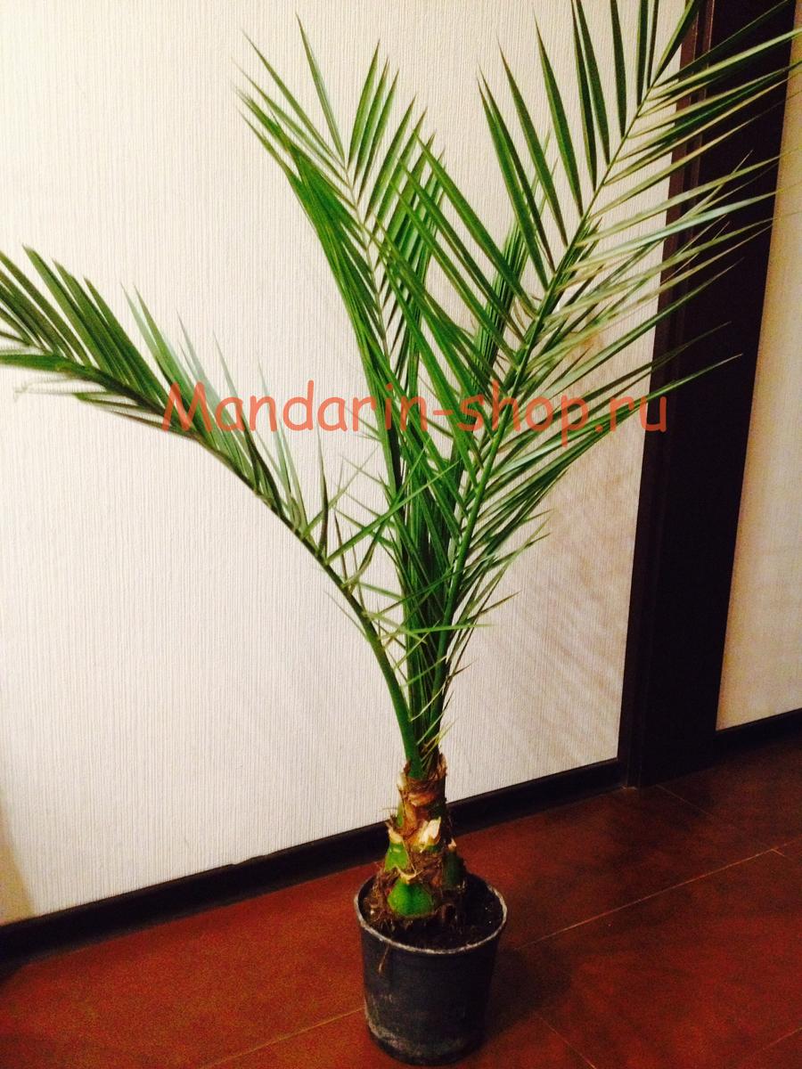 Выращивание пальма в домашних условиях 5