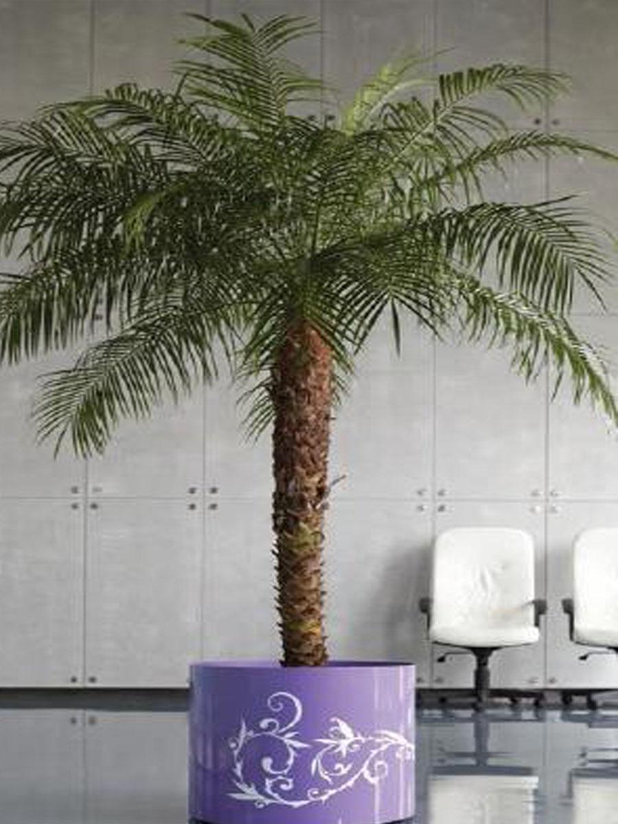 Финиковые пальмы фото в домашних условиях
