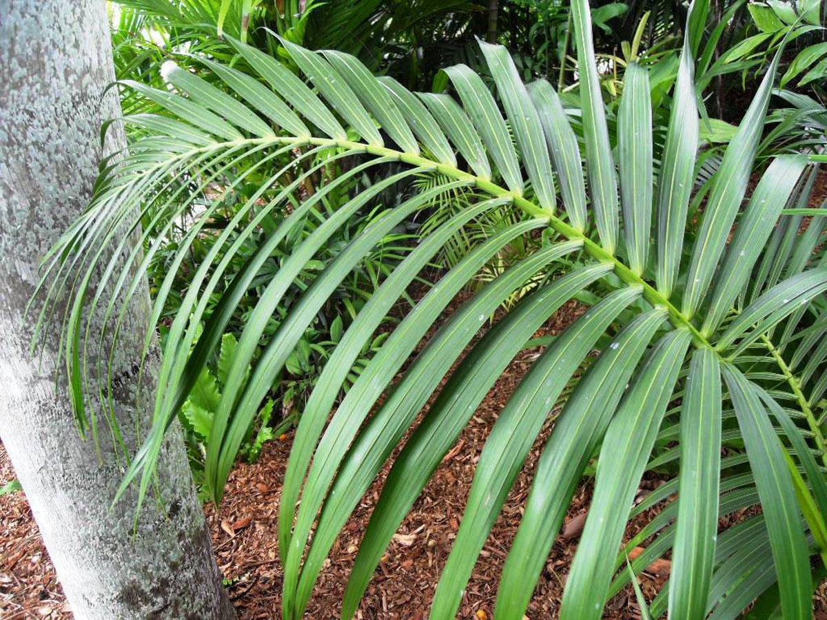 Названия комнатных пальм