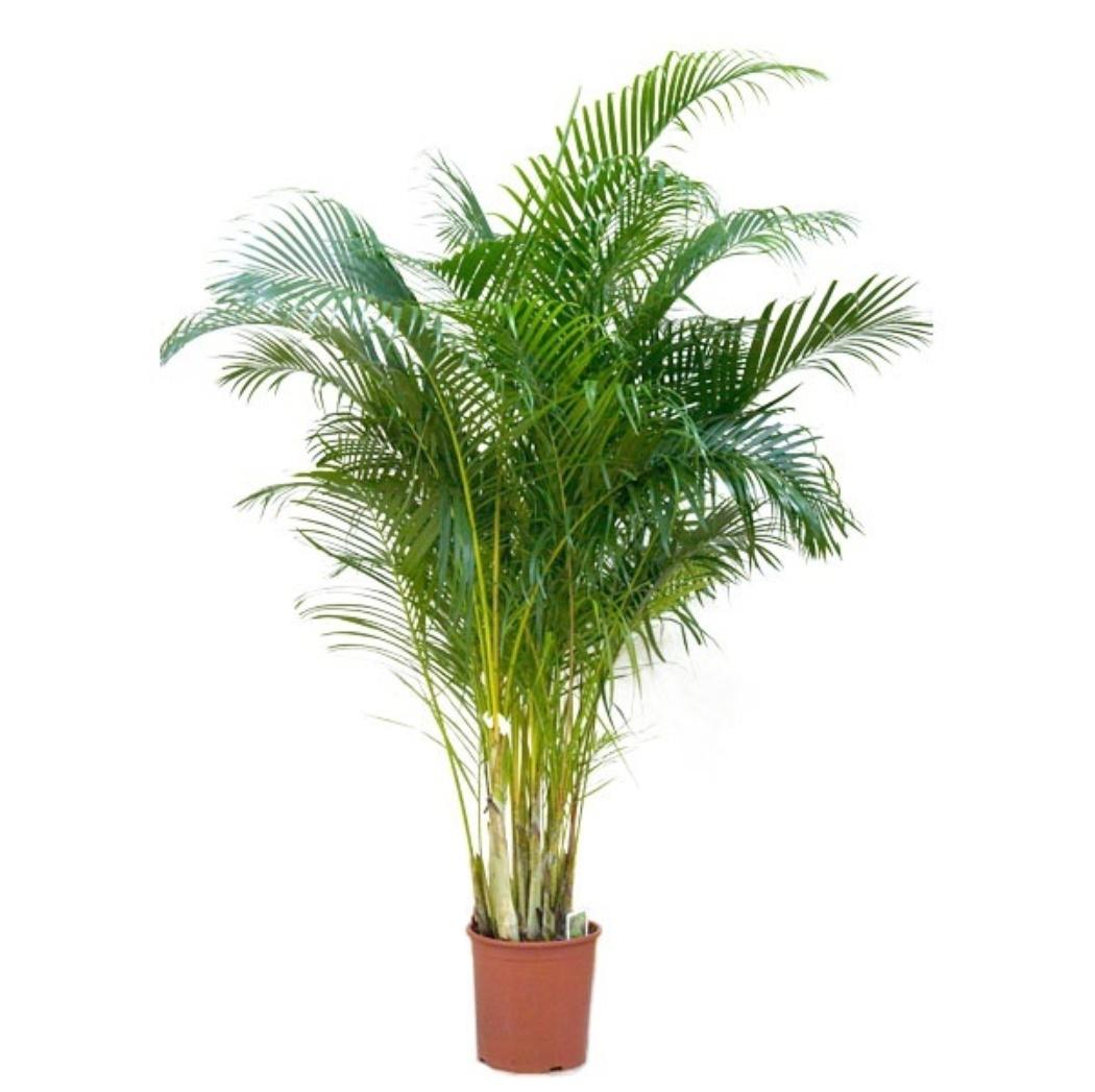 Пальма Хризалидокарпус D21 H120 купить в интернет-магазине Мандарин-шоп, уход в домашних условиях